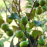 bibit tanaman apel putsa atau india