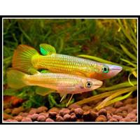 KILLI FISH GOLDEN / IKAN HIAS / AQUASCAPE (3-4cm)