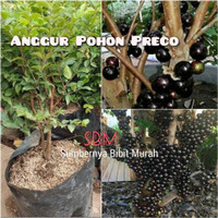 Bibit Anggur Pohon Preco - Anggur Brazil Jaboticaba Precosius
