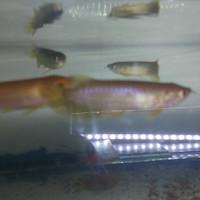 Arwana banjar red uk 8-9-10cm