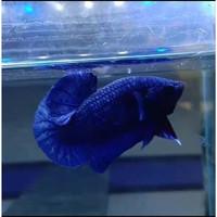 Ikan Cupang Royal Blue Line AvatarGordon