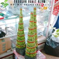tanaman hias bambu hoki/bambu rejeki/bambu cina susun 7