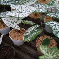 tanaman hias keladi putih