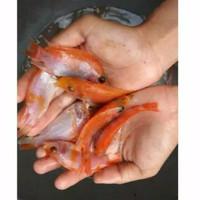 bibit ikan nila merah bangkok padang