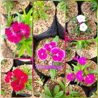 tanaman hias bunga dianthus/anyelir mini