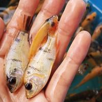 bibit ikan nila merah murah