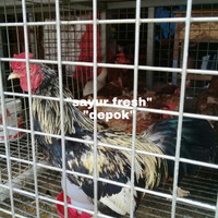 ayam kampung jantan hidup per ekor