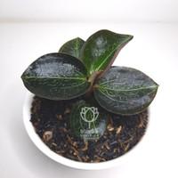 Tanaman Hias Jewel Orchid Daun Gelap