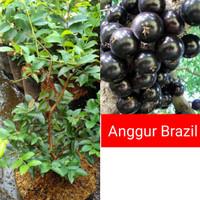 bibit anggur pohon brazil preco asli