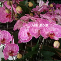 tanaman hias pohon angrek bulan bunga pink