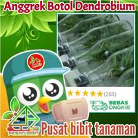 bibit tanaman bunga angrek botol dendrobium 20 - 25 pcs