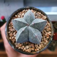 Kaktus Astrophytum Super - Kaktus Mini - Beli 2 Bonus 1