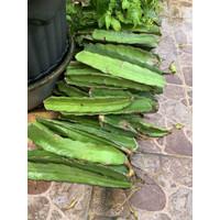 Bibit / batang buah naga MERAH