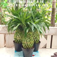 tanaman hias bambu hoki kepang/bambu cina/bambu air tinggi 45 cm + pot