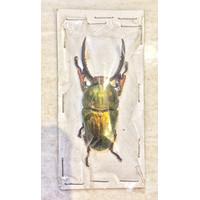 Awetan Kumbang / Lamprima Adolphinae