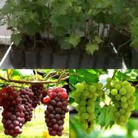 paket 1 bibit angur hijau dan 1 anggur merah super
