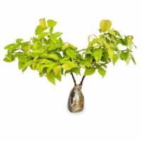 bibit pohon anting putri - bibit pohon bonsay anting putri murah