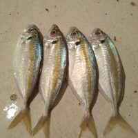 Ikan Selar Kuning / Ikan Selar Segar - 1kg