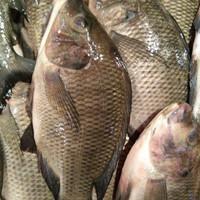 Ikan Mujaer Segar Berkualitas - 1 kg