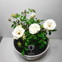 Tanaman Hias Mawar Floribunda Postar Putih
