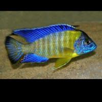 Aulonocara Stuartgranti Blue Neon Smal Peacock Chiwindi Malawi Cichlid