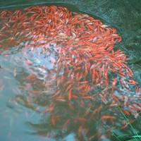 bibit Ikan nila merah