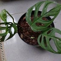tanaman hias monstera janda bolong/janbol