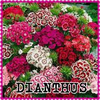 benih bunga dianthus/benih bibit bunga anyelir