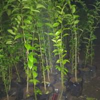 bibit bonsai anting putri tanaman