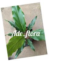 tanaman hias antorium gelombang cinta