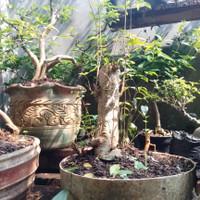 tanaman hias anting putri hijau bahan bonsai 2