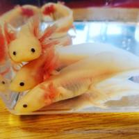 Axolotl Leucy ( Top Grade)