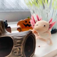 Axolotl Salamander Top Grade Quality