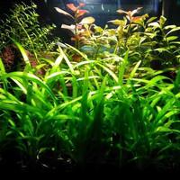 paket stemplant low light & low co2 ( tanaman aquascape )