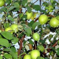 Bibit Tanaman Buah Apel Putsa/Pohon Apel India/Murah Berkualitas Oke!