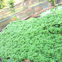 Bibit Azolla Microphylla 250gr