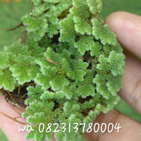 azola/bibit azolla/indukan azolla/azolla microphylla