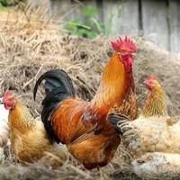 Ayam Kampung Hidup Perekor (Silahkan Pilih Varian)