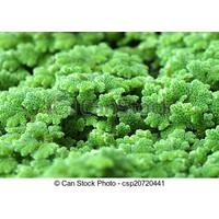 bibit azolla pinata benih azola microphyla pakan ikan 100 gram