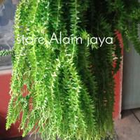 tanaman hias rumpai kumpai gantung