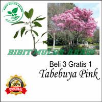 Tanaman hias tabebuya bunga pink daun lebar 1 meter