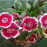 tanaman anyelir bunga rajin
