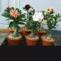tanaman hias adenium kamboja jepang - kamboja mini - bunga hidup