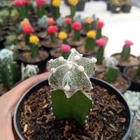 kaktus dan sukulen/astrophytum myriostigma grafting