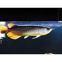 AROWANA ARWANA RED BANJAR (SUPER RED KW) 28-30cm