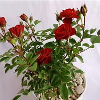 tanaman hias bunga mawar/pohon mawar asli hidup/bunga mawar super wang