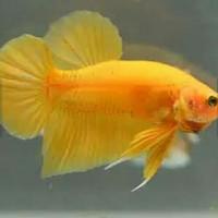 Ikan Cupang Bahanan Baby Super Yellow / Bukan Yellow Banana !!
