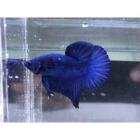 ikan cupang royal blue male