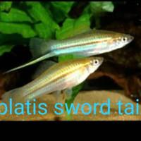 ikan hias platis sword tail/ikan pedang