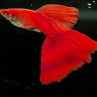 Hiasan Aquarium Guppy Albino Full Red AFR Aquascape